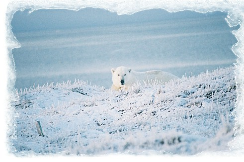 Polar bear viewing tours in the high Arctic