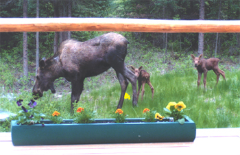 Alaska Cow Moose and Calf