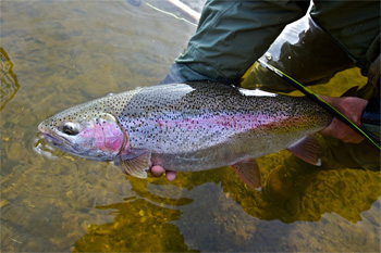 Fly fishing for trophy rainbow trout